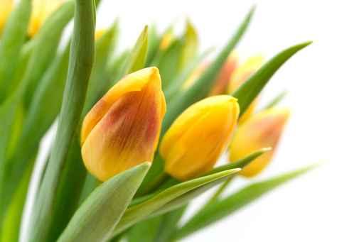 Estores Flores Tulipanes Amarillos
